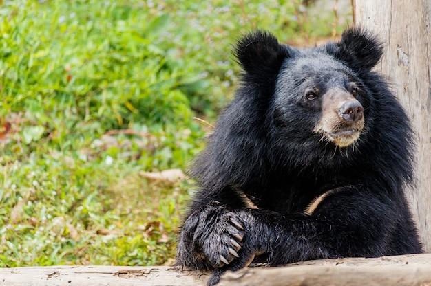 Ours noir dans la forêt. Photo Premium