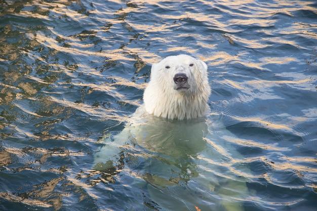 Ours polaire au zoo dans l'eau Photo Premium