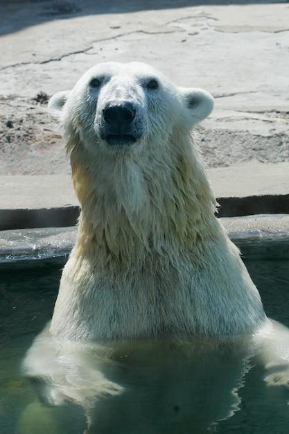 Ours polaire dans zoo, heure d'été Photo Premium