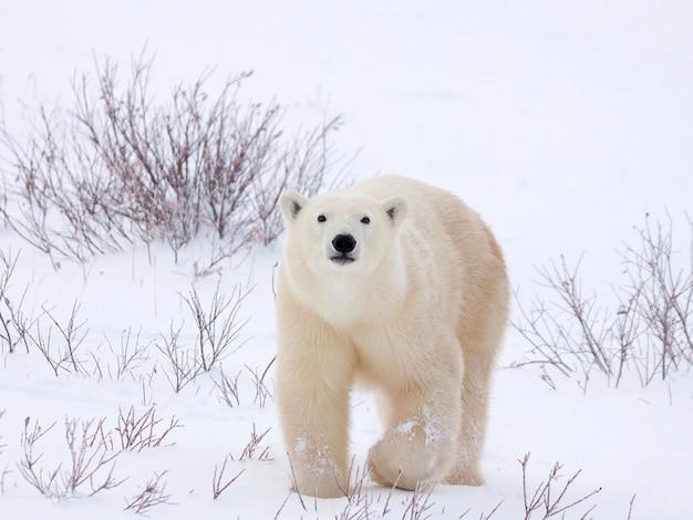 Ours polaire se réveillant sur un terrain enneigé Photo Premium
