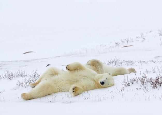Ours polaires dormant dans un champ enneigé Photo Premium