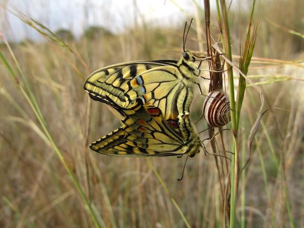 Paire De Papillons Machaon Maltais D'accouplement à Côté D'un Escargot Photo gratuit