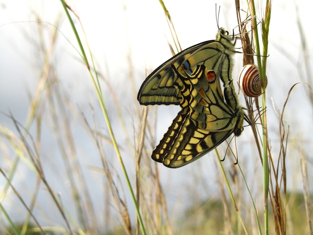 Paire De Papillons Machaon Maltais D'accouplement à Côté D'un Escargot Photo gratuit