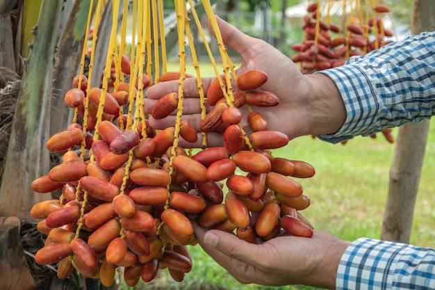Les palmiers dattiers occupent une place importante dans l'agriculture avancée dans le désert. palmier dattier. raw date palm fruits poussant sur un arbre. Photo Premium