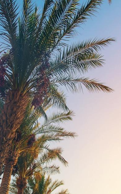 Palmiers dattiers Photo Premium