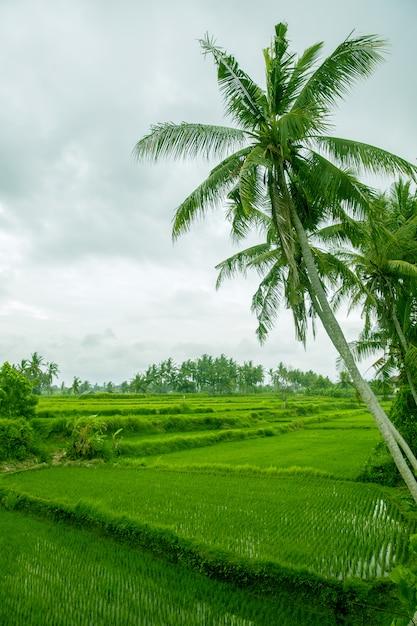 Les palmiers sont au-dessus de la terrasse de riz Photo Premium