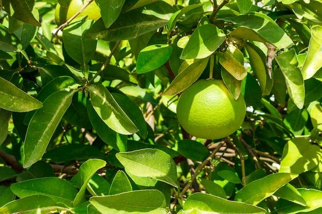 Pamplemousse vert sur arbre avec fond de feuille verte Photo Premium