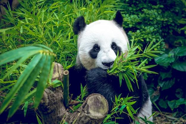 Panda Géant Affamé Photo Premium