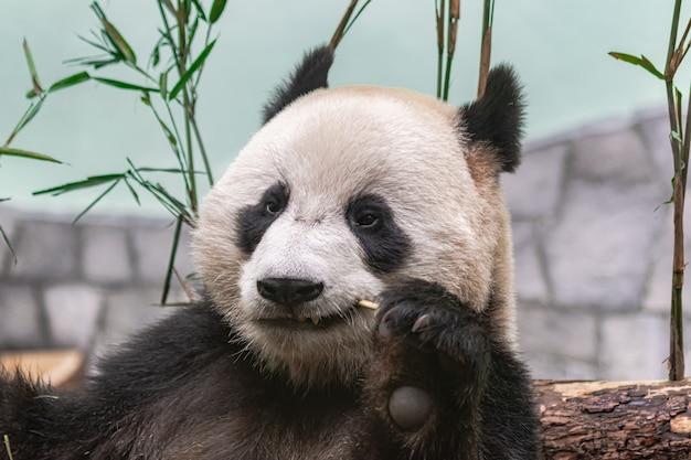 Panda Géant (ailuropoda Melanoleuca) Photo Premium