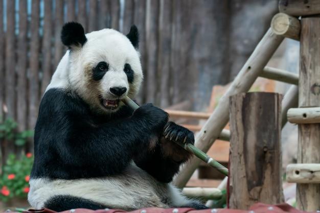 Le Panda Géant Mange Du Bambou Dans Le Parc. Photo Premium