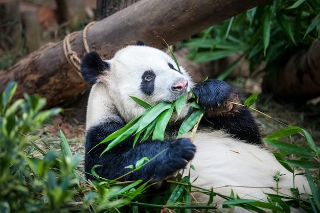 Un Panda Géant Mange Une Feuille De Bambou Vert Photo Premium