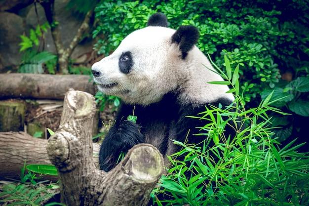 Panda Géant Photo Premium