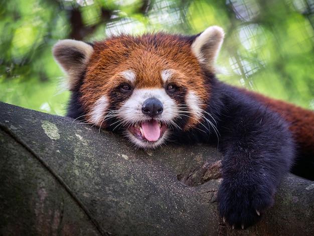 Panda Rouge, Chat Brillant, Sur L'arbre. Photo Premium