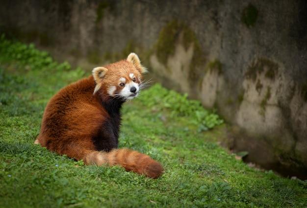 Le Panda Rouge Est Assis Sur L'herbe Verte Photo Premium