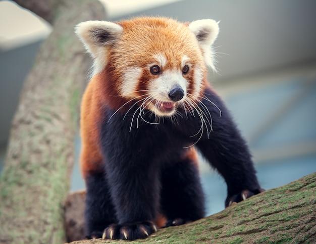 Panda Rouge Photo Premium