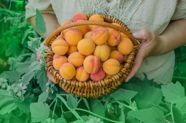 Panier d'abricots récoltés. Photo Premium