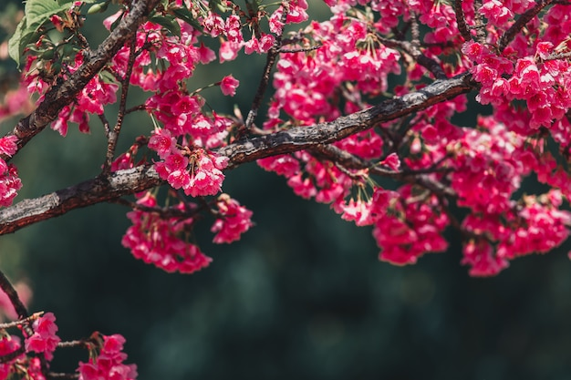 Papier peint fleurs de cerisier et sakura Photo Premium