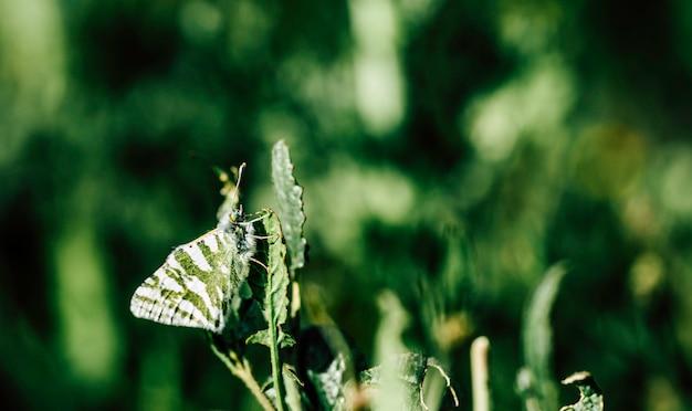 Le papillon aux ailes vertes et blanches est bien camouflé dans la feuille verte Photo Premium