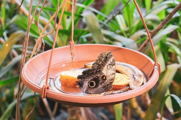 Papillon Brun Dans Un Pot Avec Des Tranches D'orange Et Des Pelures De Banane Photo gratuit