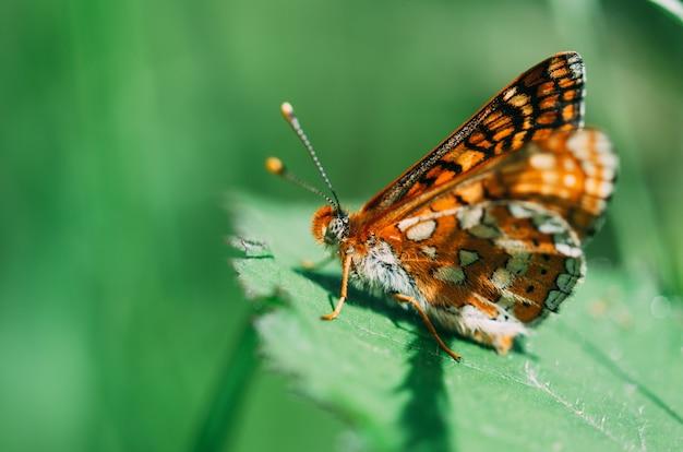 Papillon De Couleur Perché Sur Une Feuille Verte Avec L'arrière-plan Flou. Mise Au Point Sélective Sur La Photographie Macro. Photo Premium