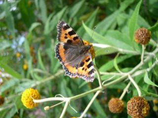 Papillon écaille de tortue Photo gratuit