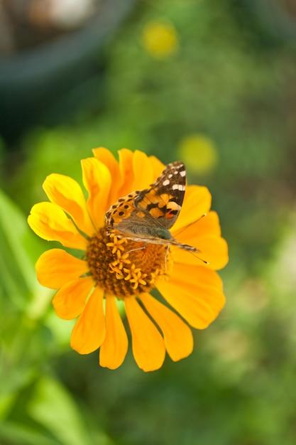 Papillon sur une fleur d'oranger Photo Premium