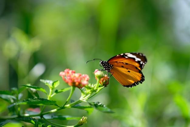 Papillon monarque cherchant du nectar sur une fleur de cosmos Photo Premium