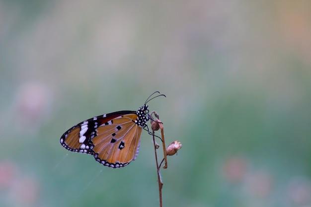 Le papillon ordinaire du tigre Photo Premium
