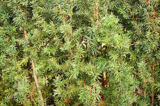 Parc Avec Une Belle Plante Verte De Taxus Baccata Photo gratuit