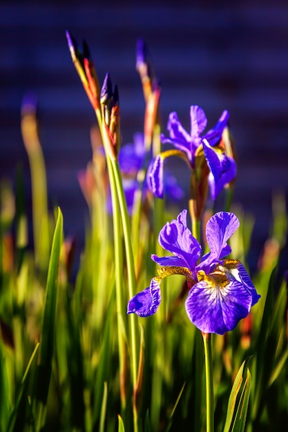 Parterre De Fleurs Aux Iris Violets Photo Premium