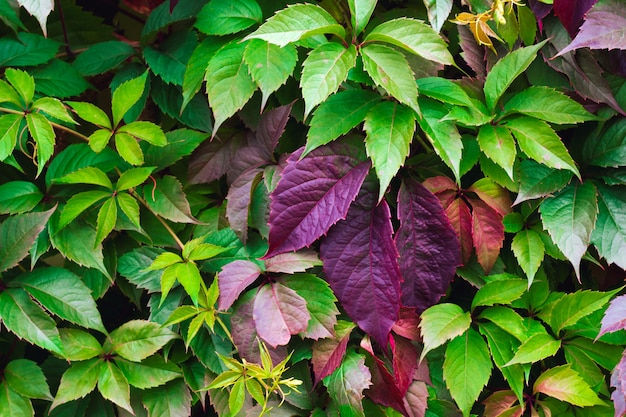 Parthenocissus colorfull leaves texture Photo Premium