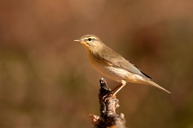 Paruline Des Saules, Phylloscopus Trochilus, Oiseau, Oiseau Chanteur Photo Premium