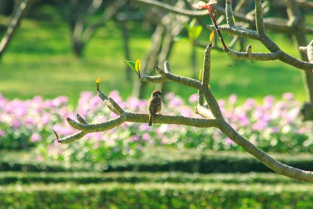 Passer montanus est sur la branche de l'arbre. Photo Premium