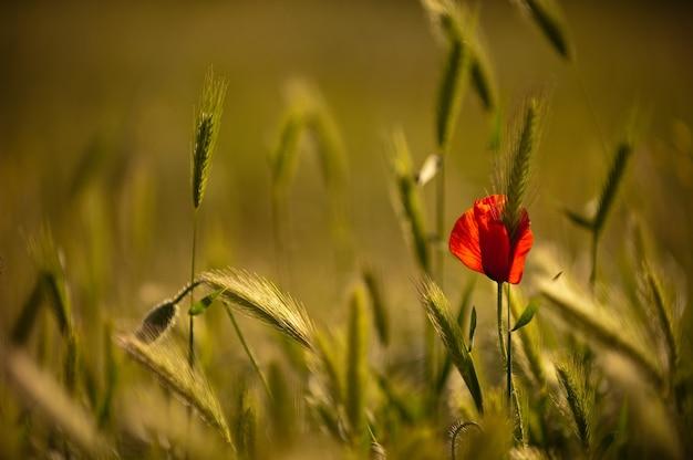 Pavot En Fleurs Sur Un Champ De Blé. Le Blé Vert Entoure Le Pavot Solitaire En Fleurs. Coquelicots Sauvages Dans Un Champ De Blé, Copiez L'espace Photo Premium