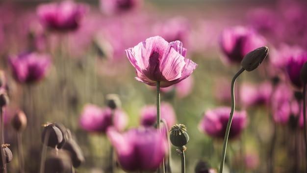 Pavot lilas fleurs au soleil en début d'été Photo Premium