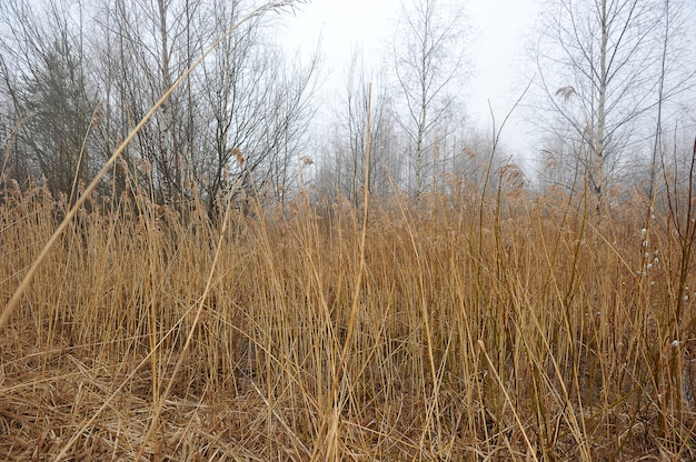 Paysage d'automne avec canne jaune et brouillard Photo Premium