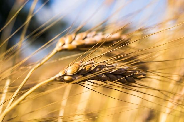Paysage d'une belle récolte de blé mûr et doré Photo Premium