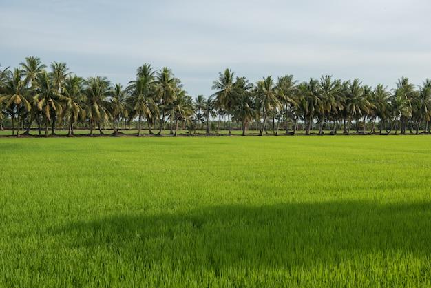 Paysage de champs de riz et de noix de coco dans la campagne de la thaïlande Photo Premium
