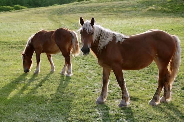Paysage de chevaux dans le pré vert des pyrénées Photo Premium