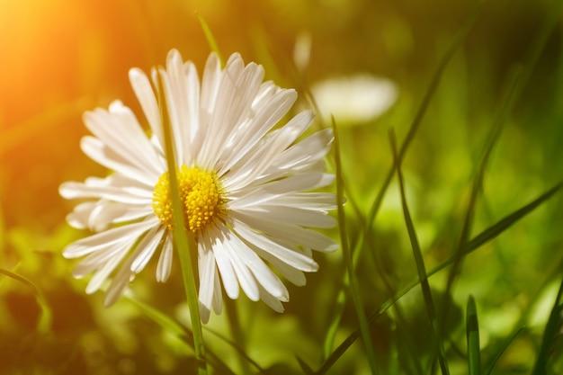 Paysage d'été. été naturel avec de belles marguerites sur le pré. fleurs de chamomille au soleil Photo Premium
