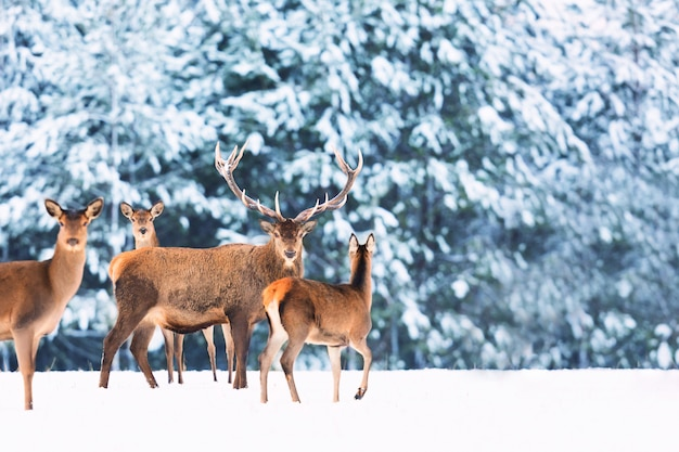 Paysage De Faune D'hiver Avec Des Cerfs Nobles Photo Premium