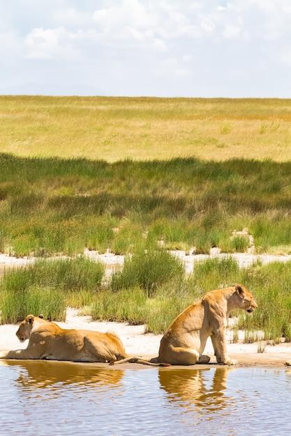Paysage Avec Fierté De Lions. Serengeti, Tanzanie Photo Premium