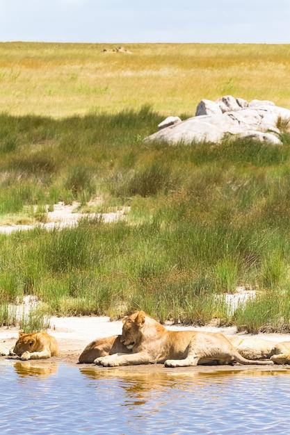 Paysage Avec Des Lions Au Repos. Serengeti, Tanzanie Photo Premium
