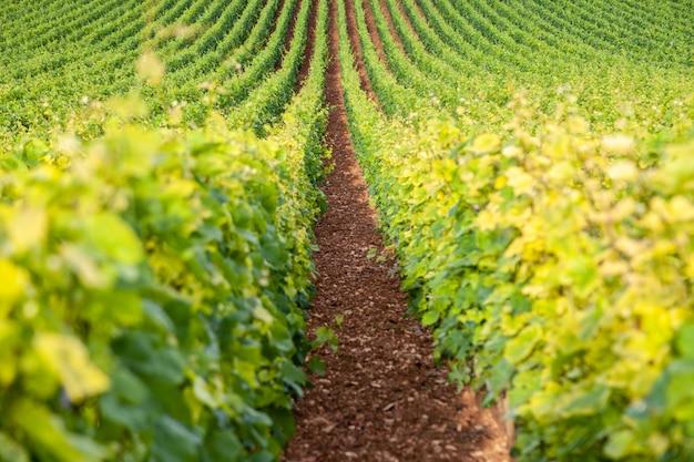 Paysage Pittoresque De Vignoble Photo Premium