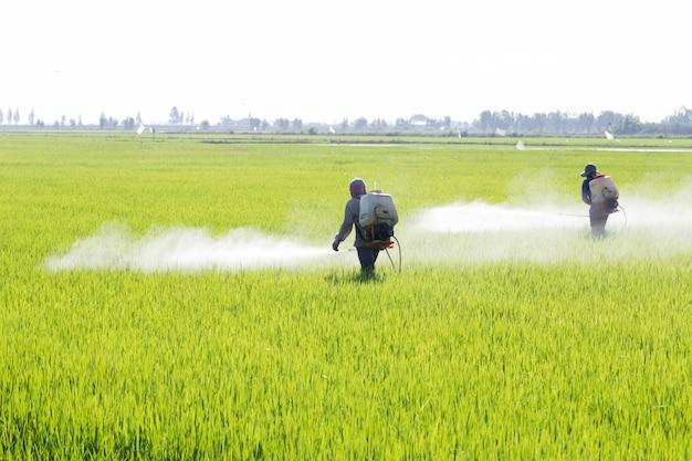 Paysan pulvérisant un pesticide dans la rizière, thaïlande Photo Premium