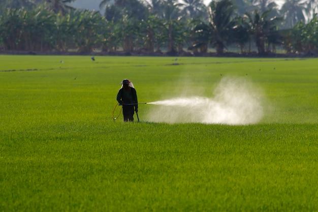 Paysan pulvérisant un pesticide dans une rizière Photo Premium