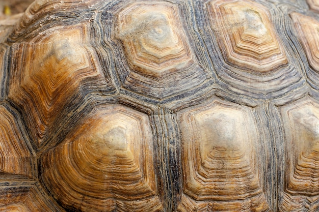 Peau de tortue sulcata Photo Premium
