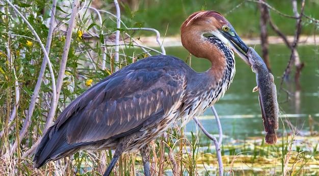 La Pêche Réussie Portrait D'un Oiseau Satisfait Héron Goliath Avec Poisson Lac Baringo Kenya Photo Premium