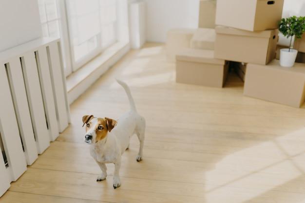 Pedigree russel terrier chien pose dans une pièce vide et spacieuse, déménage dans un nouveau lieu de vie avec ses hôtes Photo Premium