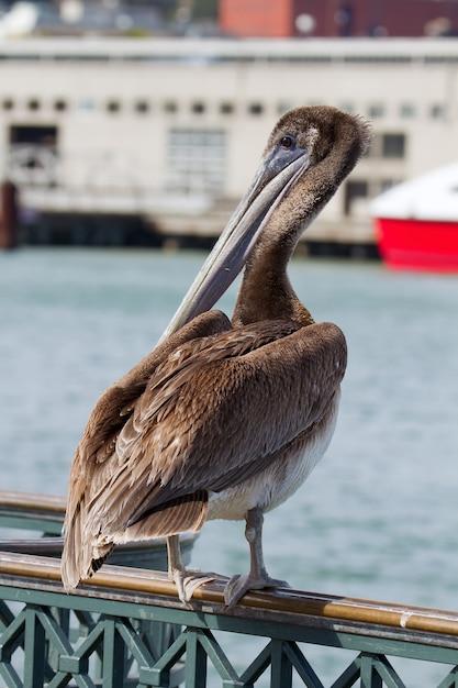 Pelican By The Pier Dans La Baie De San Francisco Photo Premium